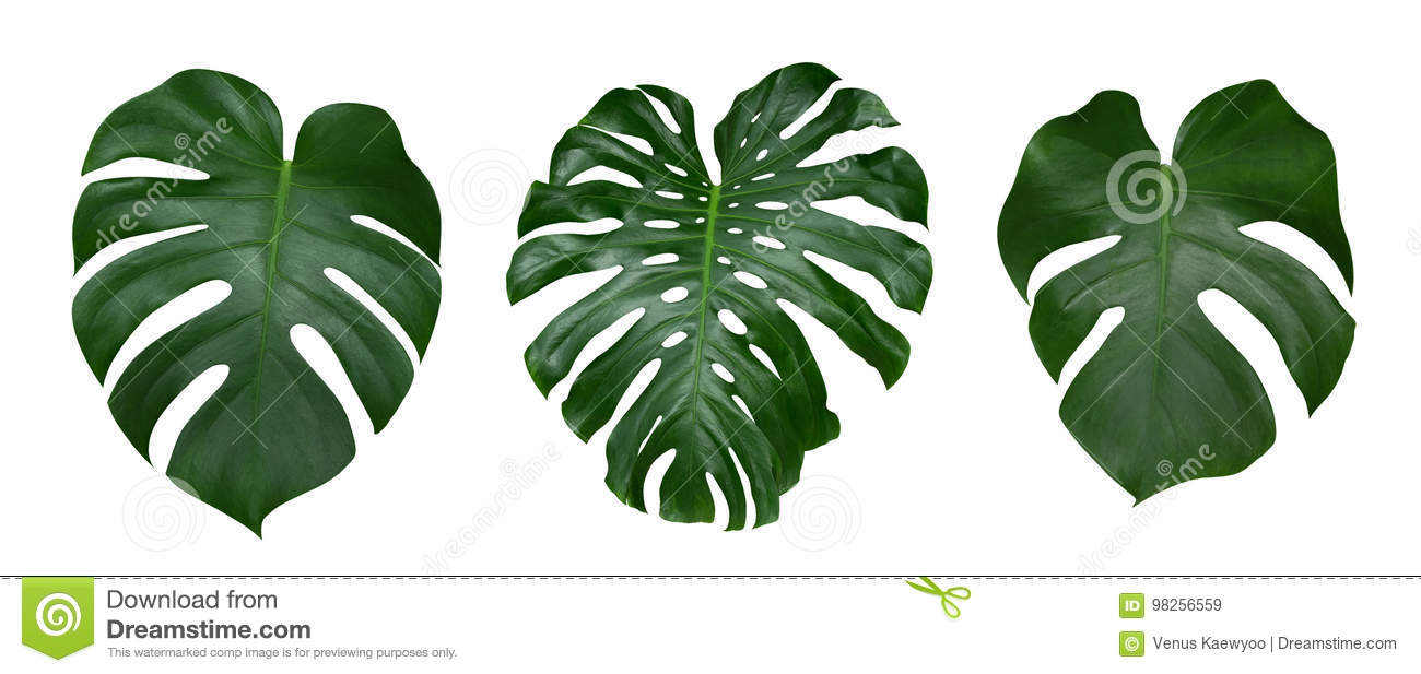 Monstera plant leaves, the tropical evergreen vine isolated on white background, path