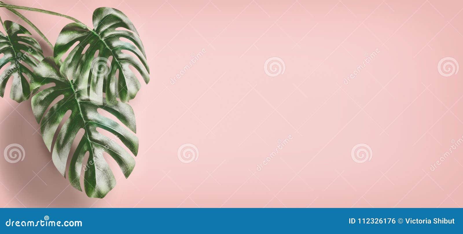 Monstera tropical part au fond de rose en pastel, fond d été avec l espace de copie pour la conception