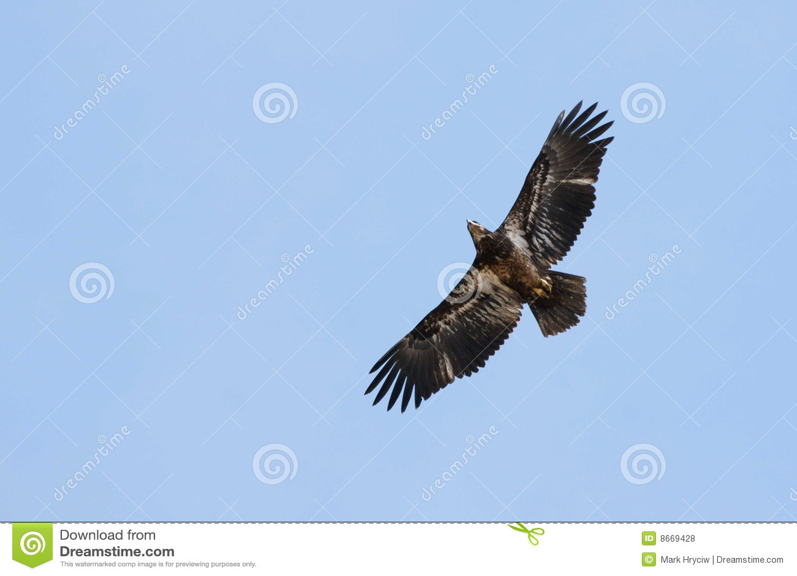 Montée de faucon