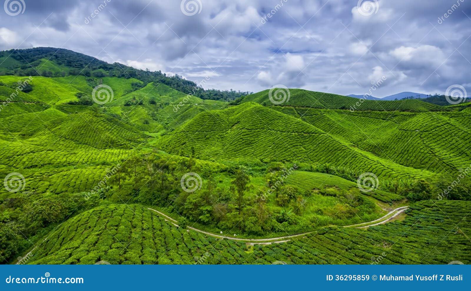 Montaña del Camerún de la granja del té