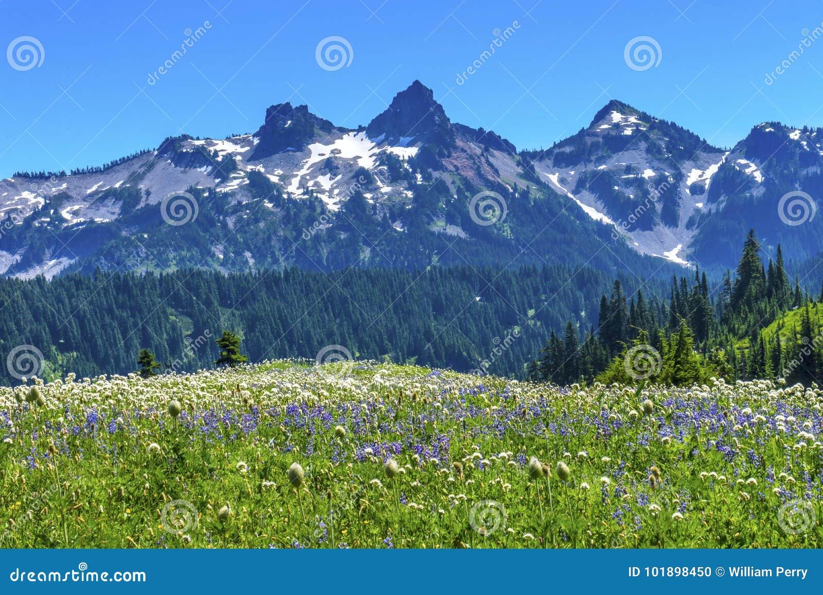 Montagem Rainier National Park W do paraíso da escala de Tatoosh dos Wildflowers