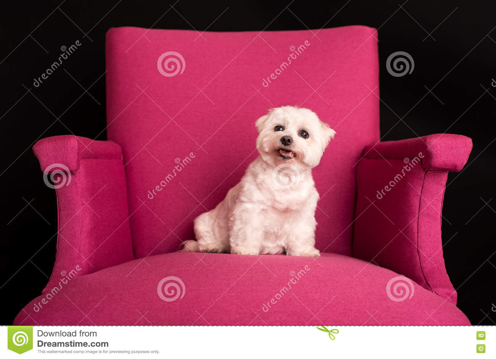 Montagne Terrier blanc occidentale mignonne reposant sur les fauteuils roses