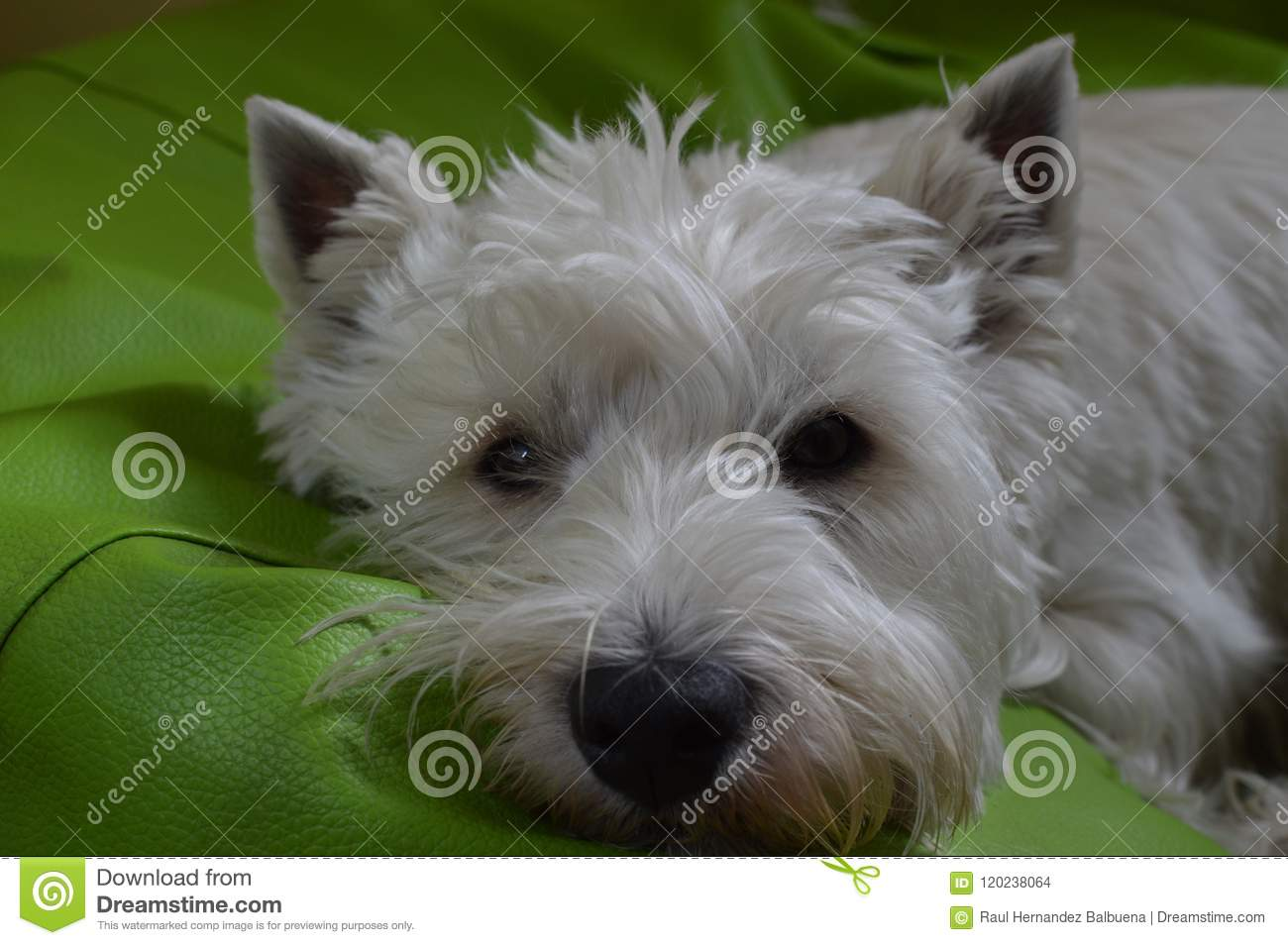 Montagne Terrier blanc occidentale se trouvant sur son lit Westy Nature, chien, animal familier, portrait
