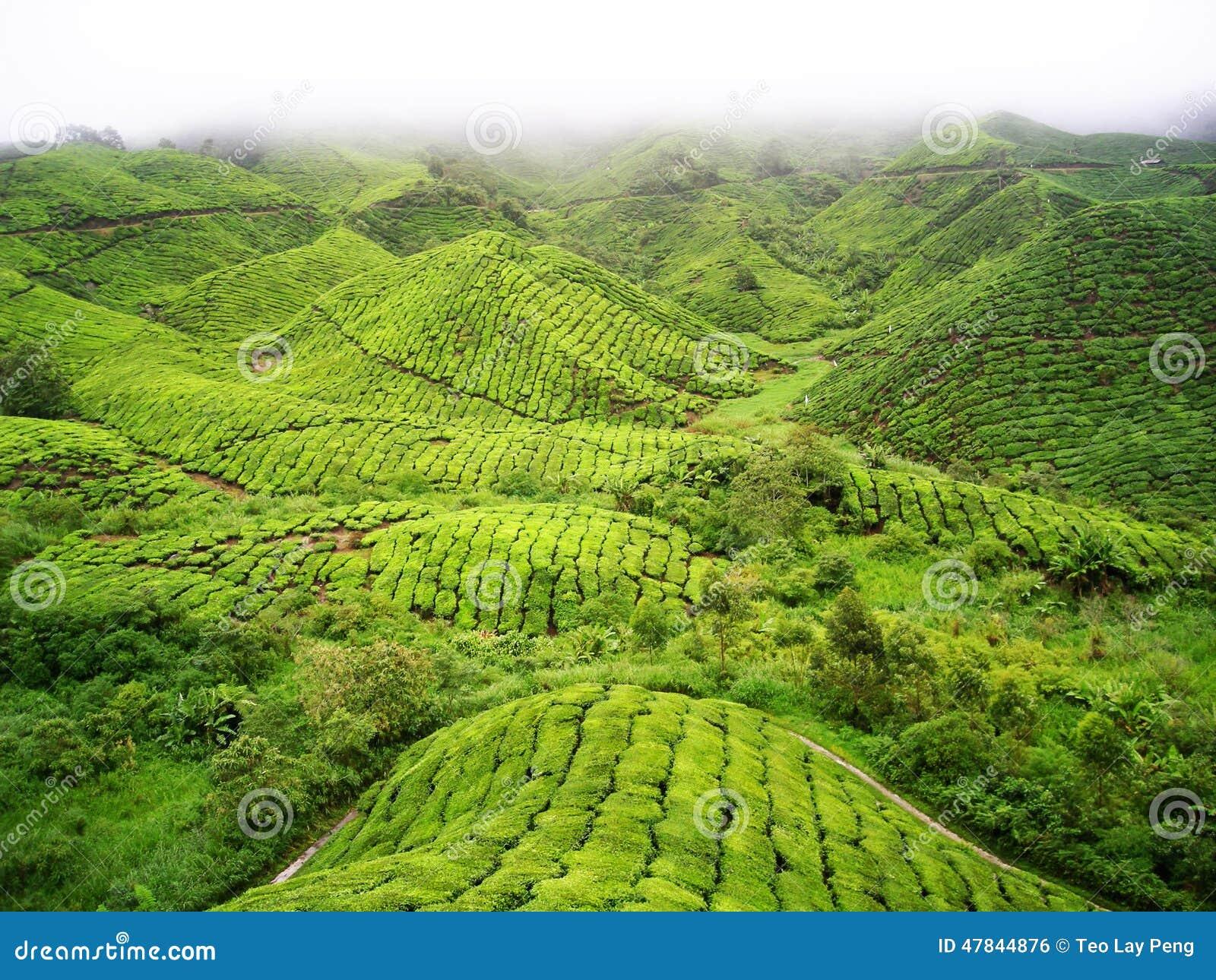 Montanha do chá verde