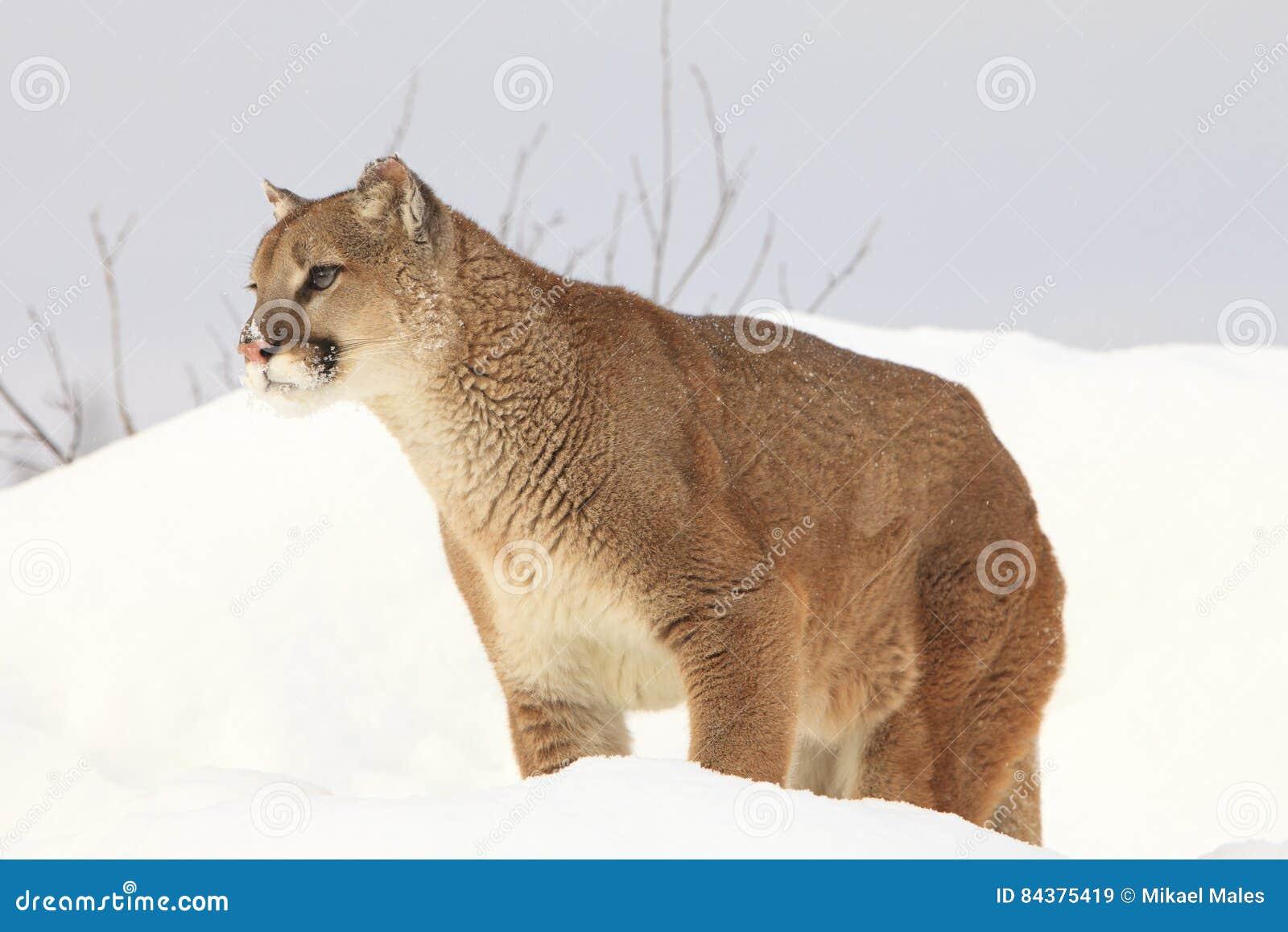 Montanha Lion Portrait