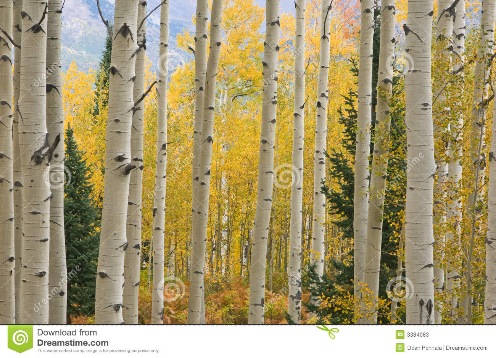 Montanhas dos alces de Aspen do outono