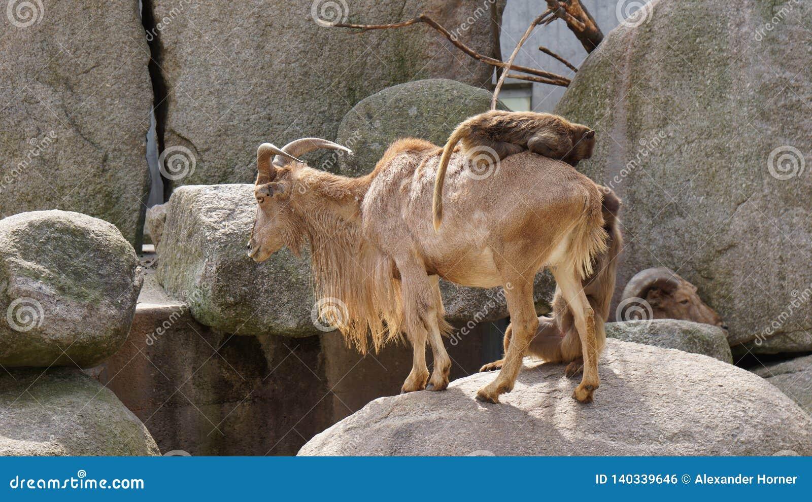 Montar a caballo del mono en paisaje de la colina de la cabra