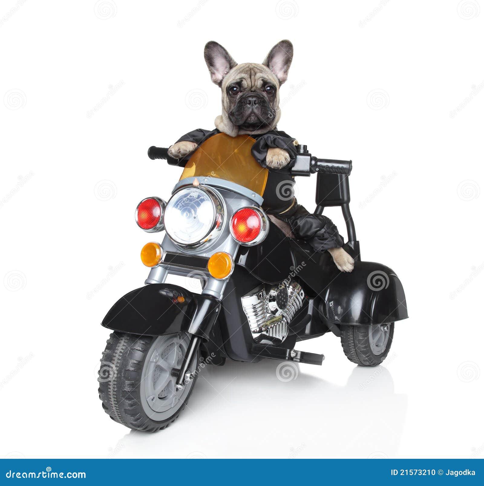 Big Dog In Helmet
