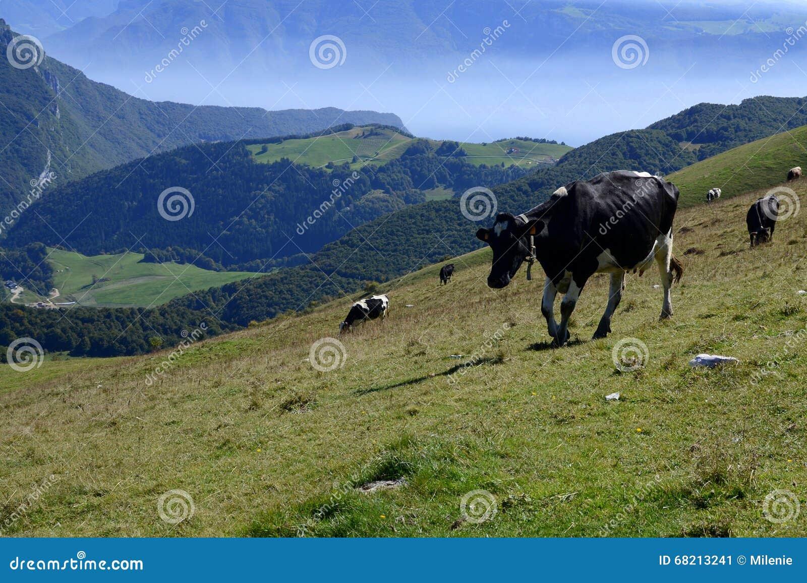 Monte Baldo, Italia, vacas en campo