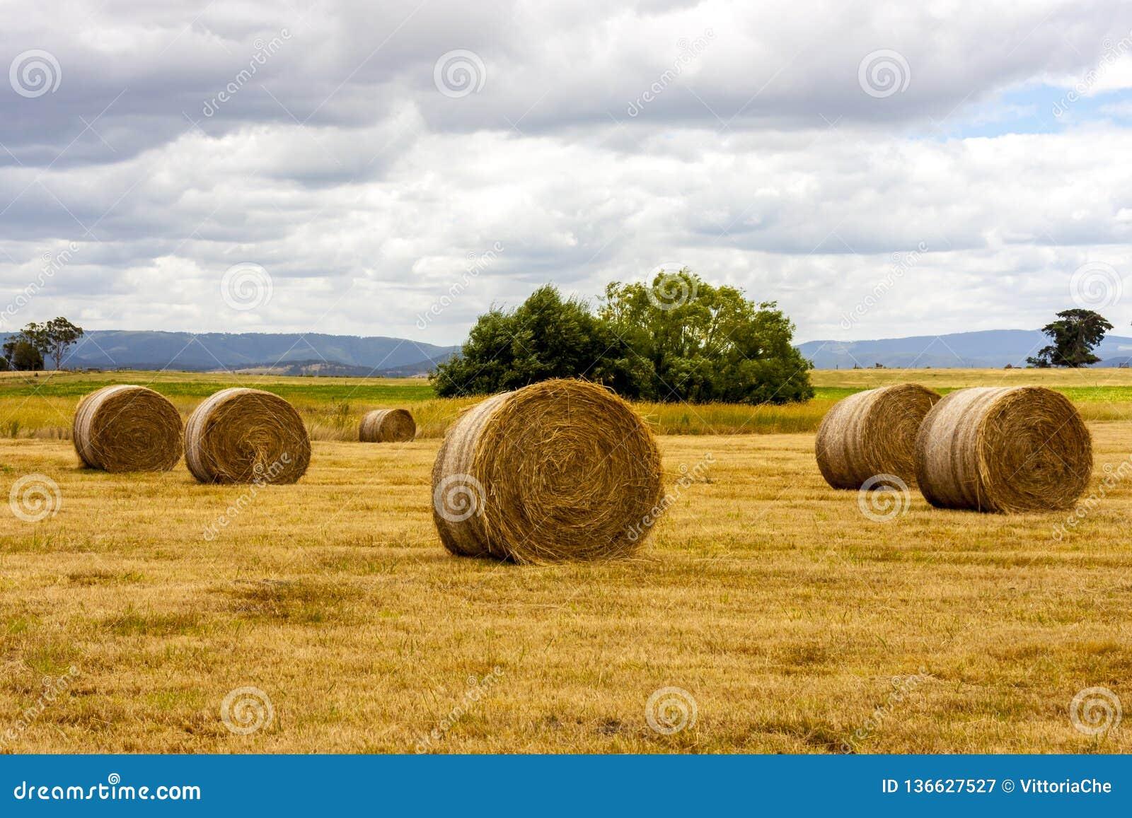 Monte de feno maduros do trigo, Austrália Ocidental