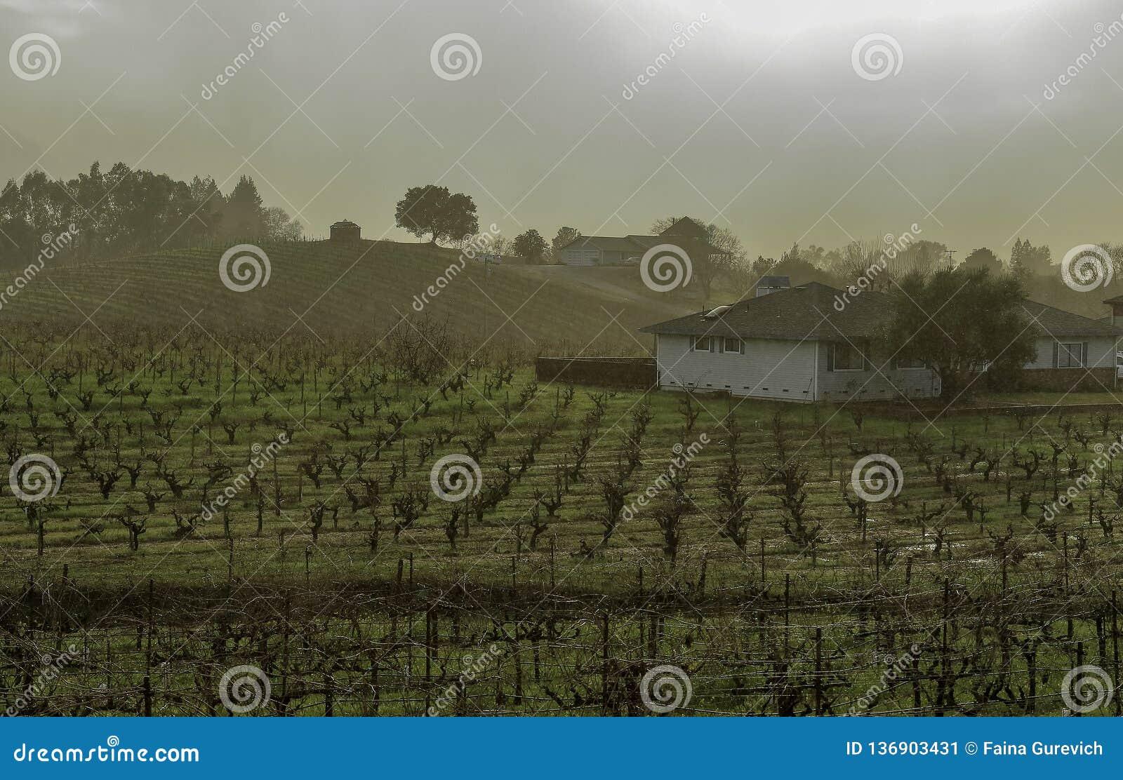 Monte do vinhedo com fileiras de vinhas, de casas, e de árvores