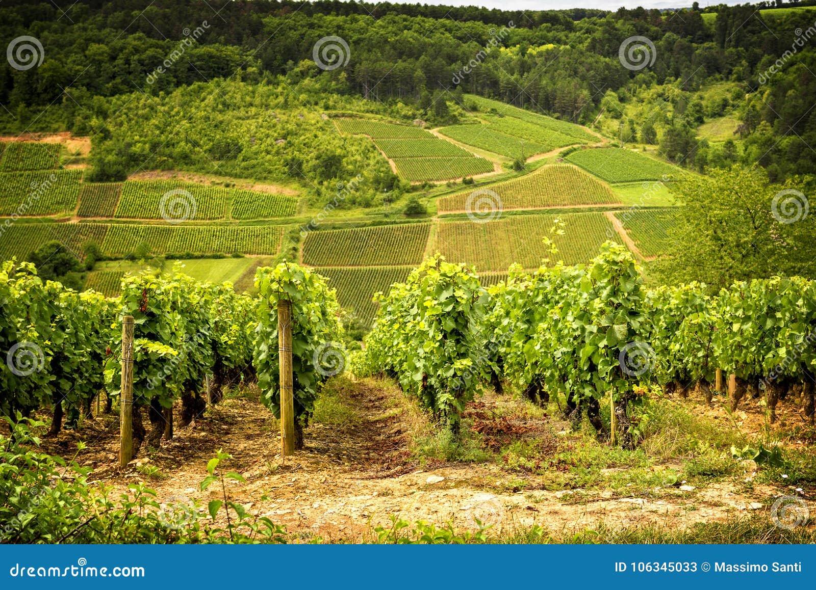Montes cobertos com os vinhedos na região do vinho de Borgonha, França