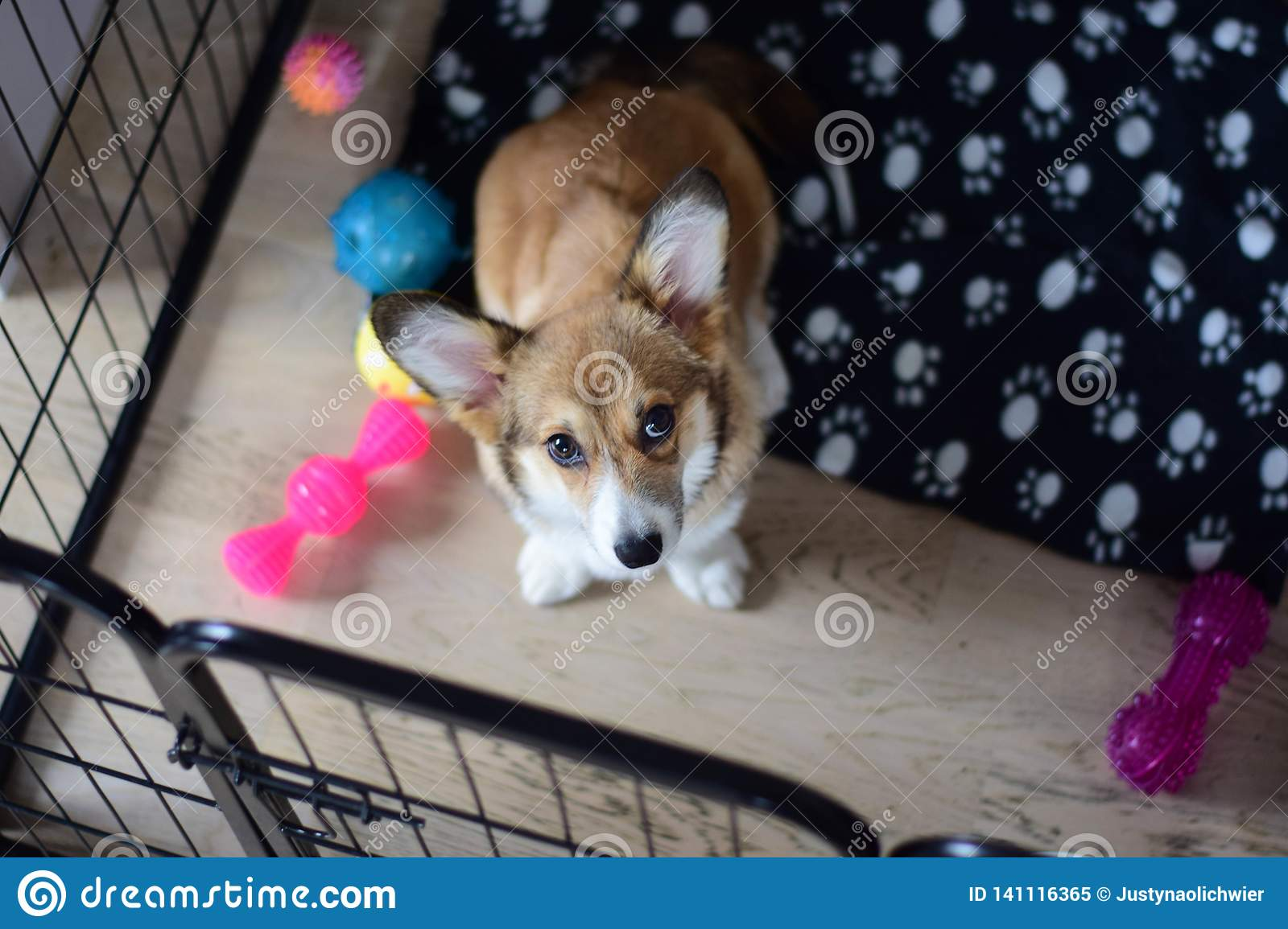 4 Month Old Welsh Corgi Puppy In A Crate During A Crate Training Stock Image Image Of Puppy Welsh 141116365