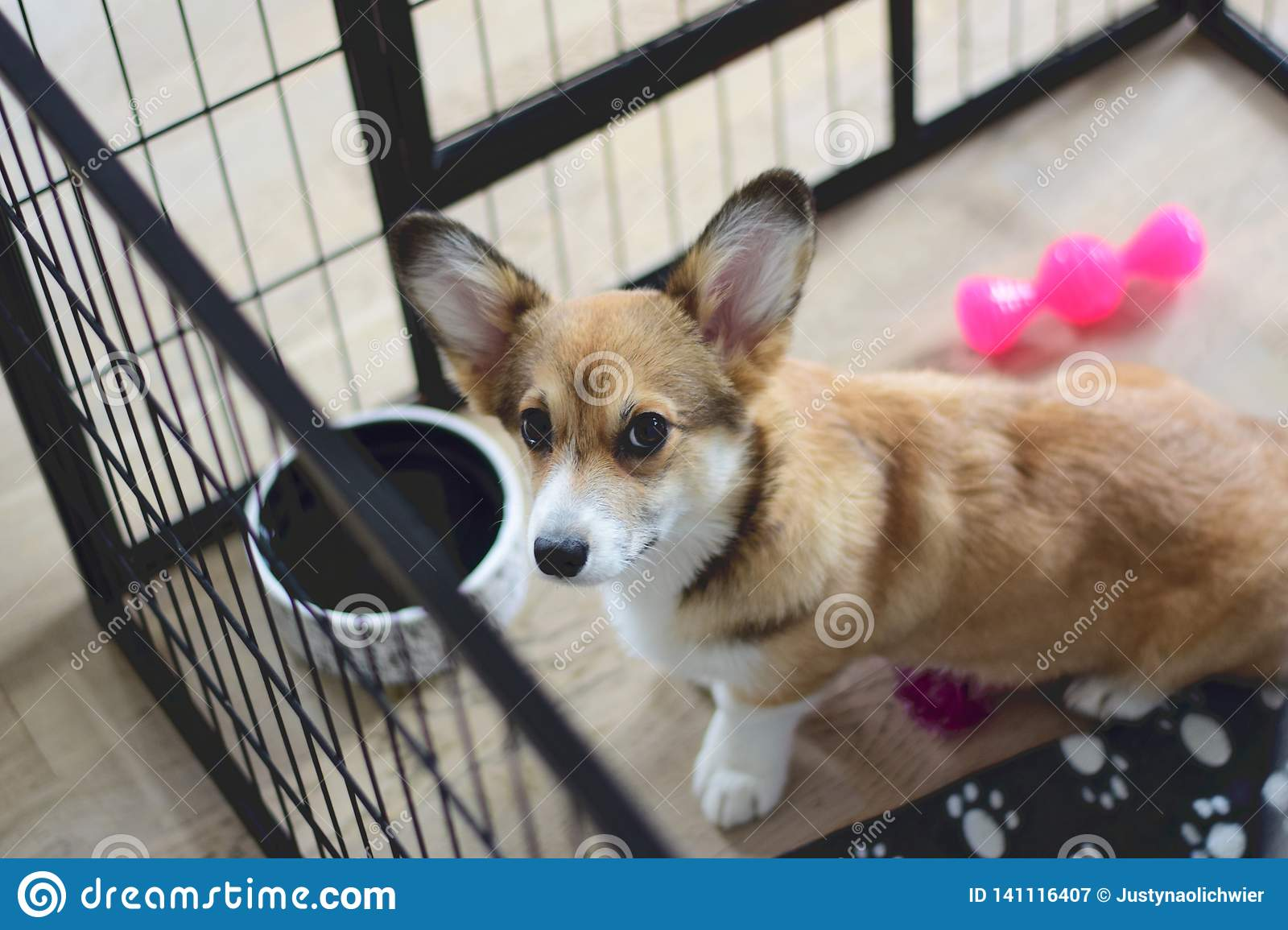 4 Month Old Welsh Corgi Puppy In A Crate During A Crate Training Stock Image Image Of Welsh Month 141116407
