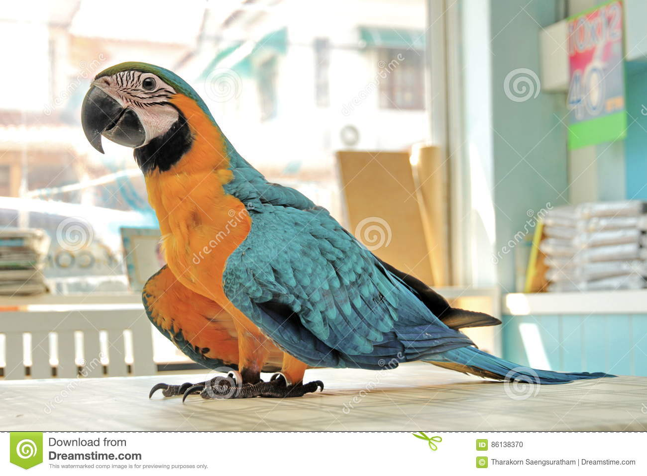 3 Months Blue and Yellow Macaw lovely bright children`s emotions