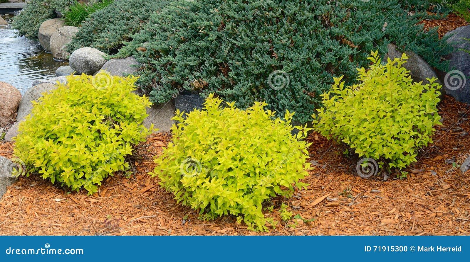 Monticello Spirea dell oro che abbellisce gli arbusti