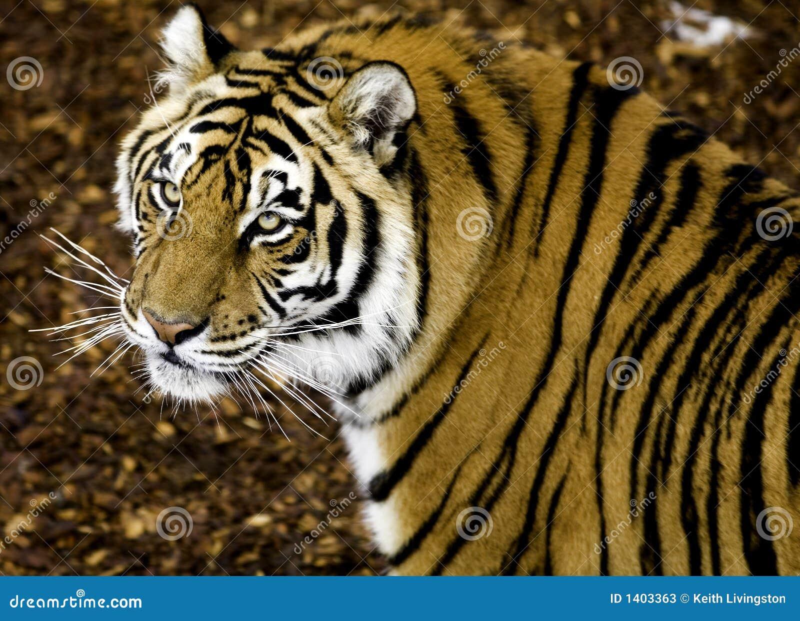 Montre de tigre