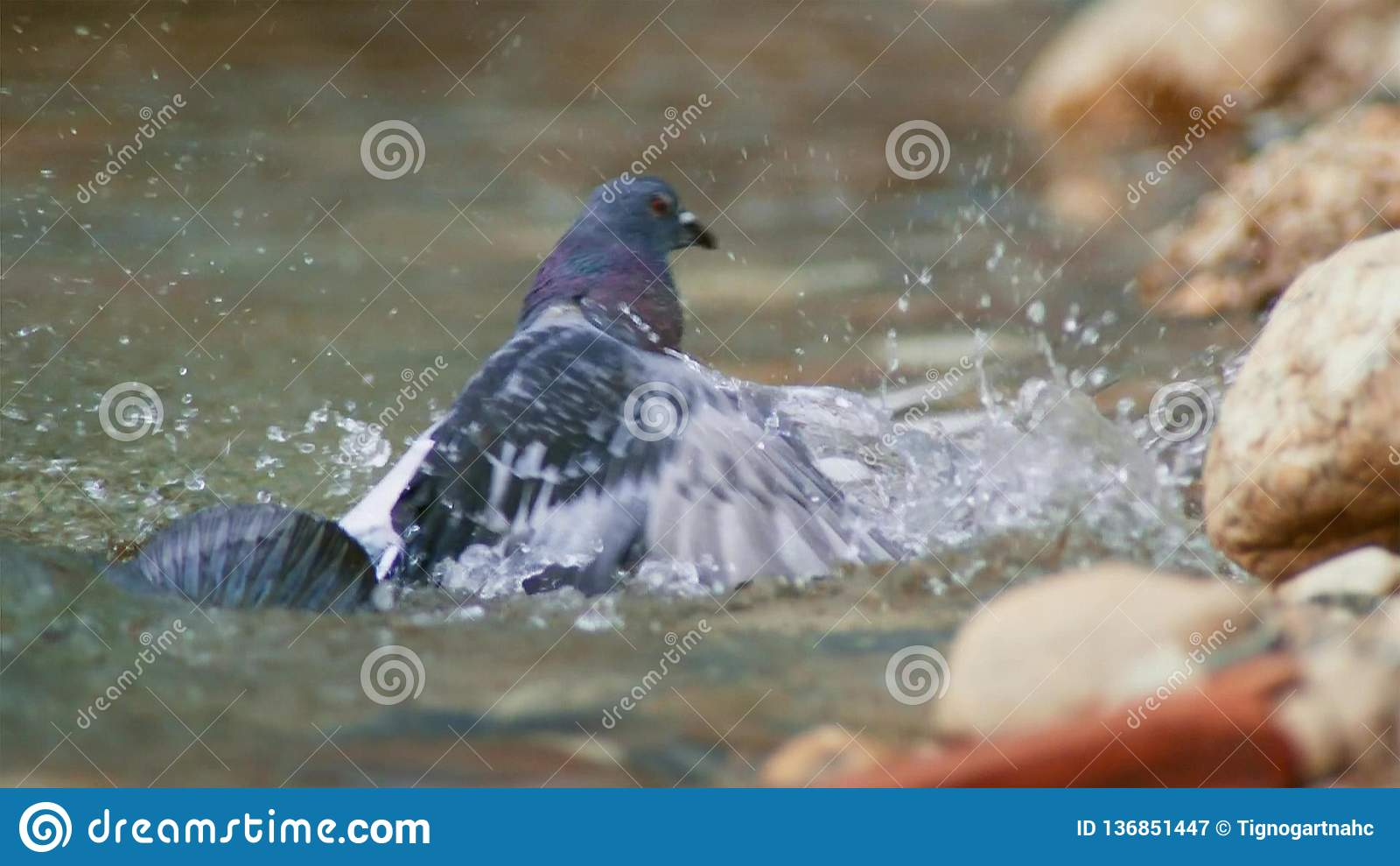 Montrous wels sum czekać na gołębie i innych zdobycze w płytkiej wodzie w Albi w południe Francja