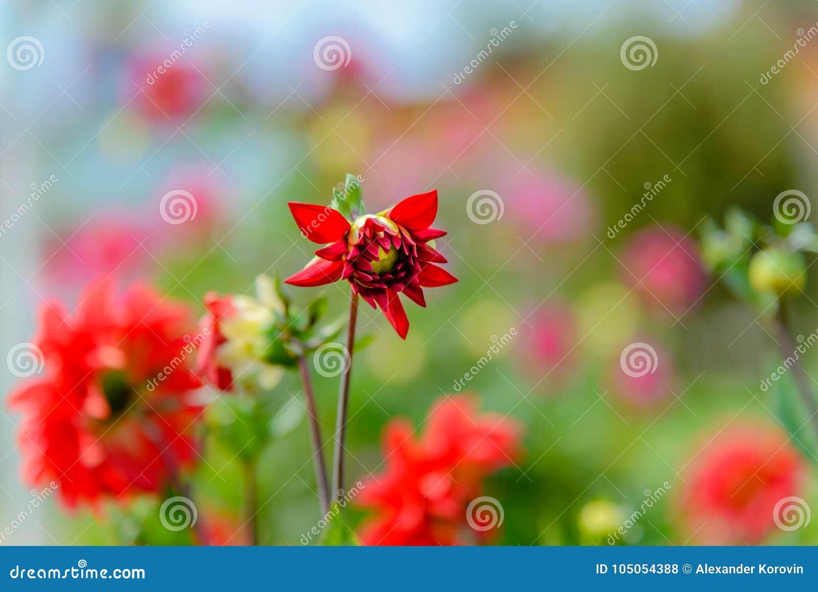 Mooi dahliaclose-up dat op een zonnige dag bloeit