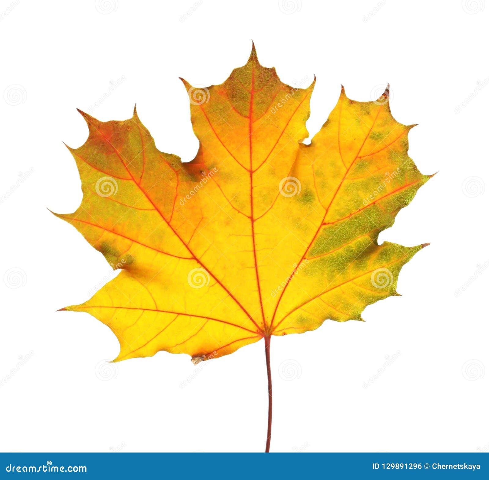 Mooi de herfstblad op witte achtergrond