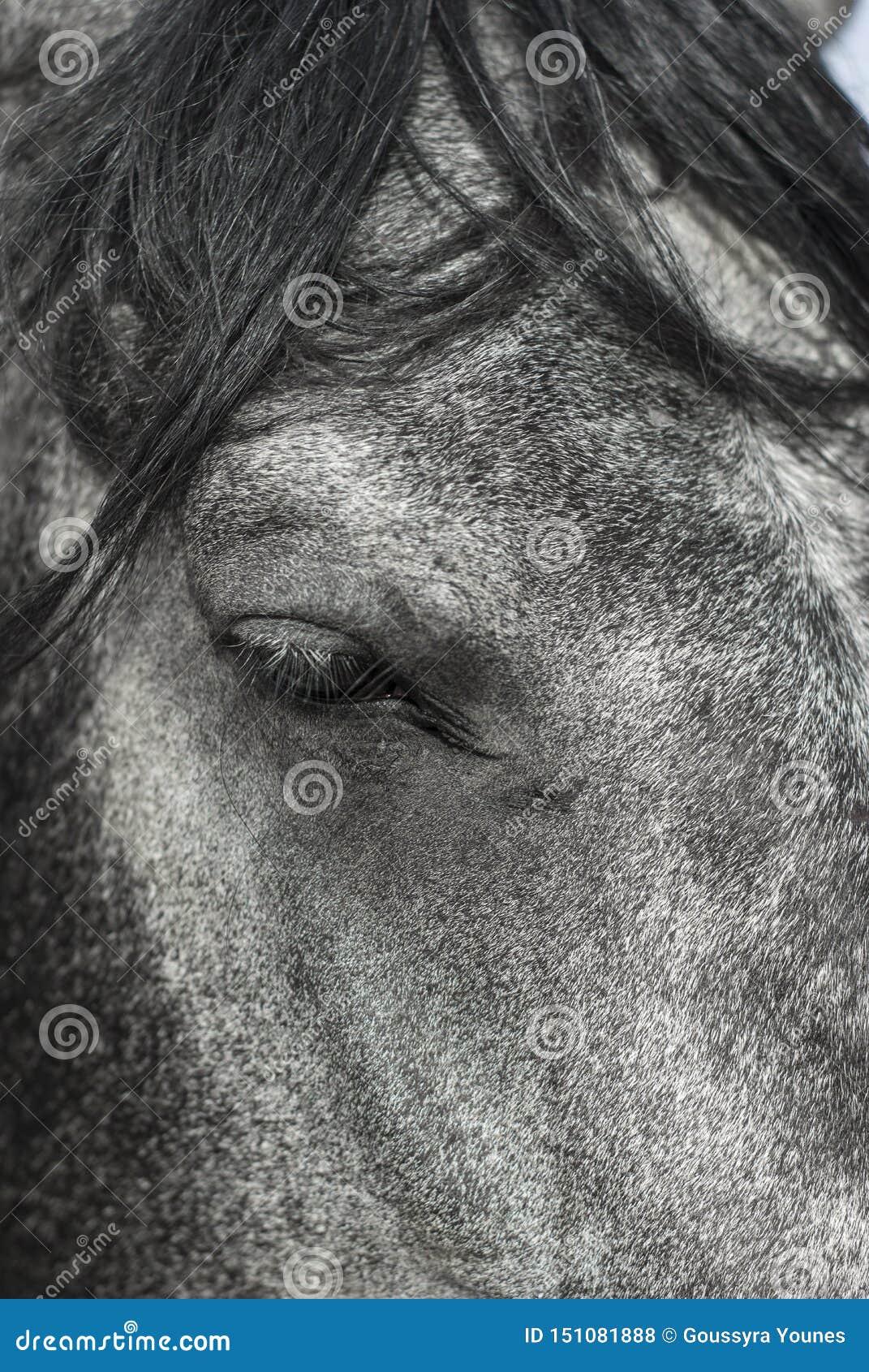 Mooi dicht omhooggaand portret os een landbouwbedrijfpaard, oog in nadruk