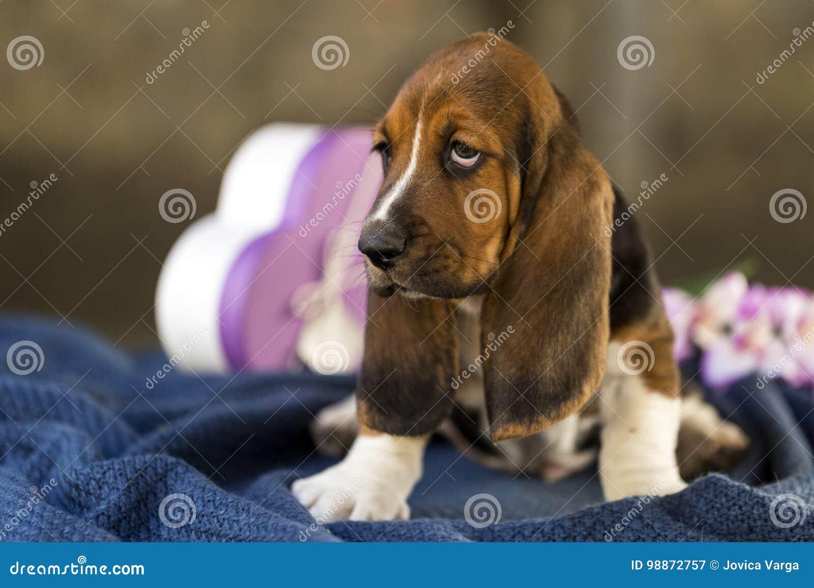 Mooi en zacht Basset hondenpuppy met droevige ogen en zeer l