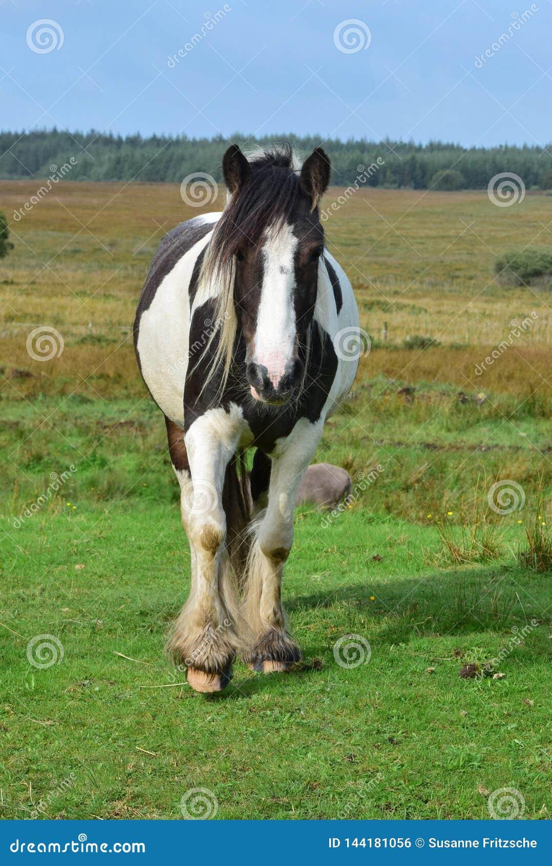 Mooi gevlekt paard in Ierland