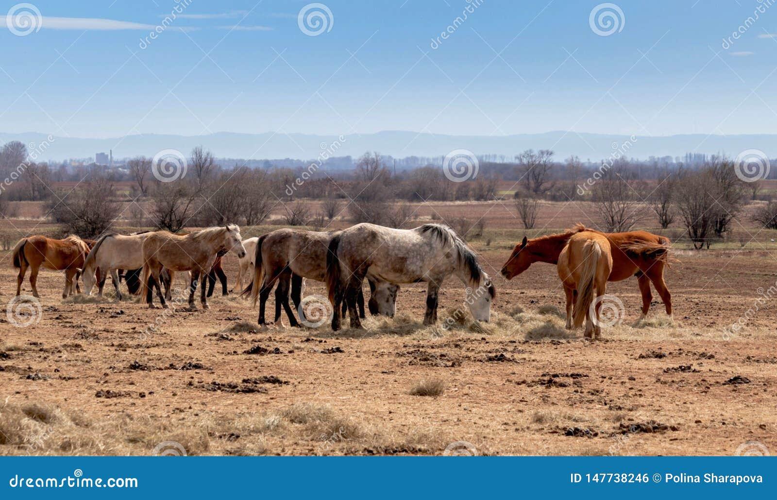 Mooi landschap, de kudde van paarden die in fild weiden, in het landbouwbedrijf, platteland