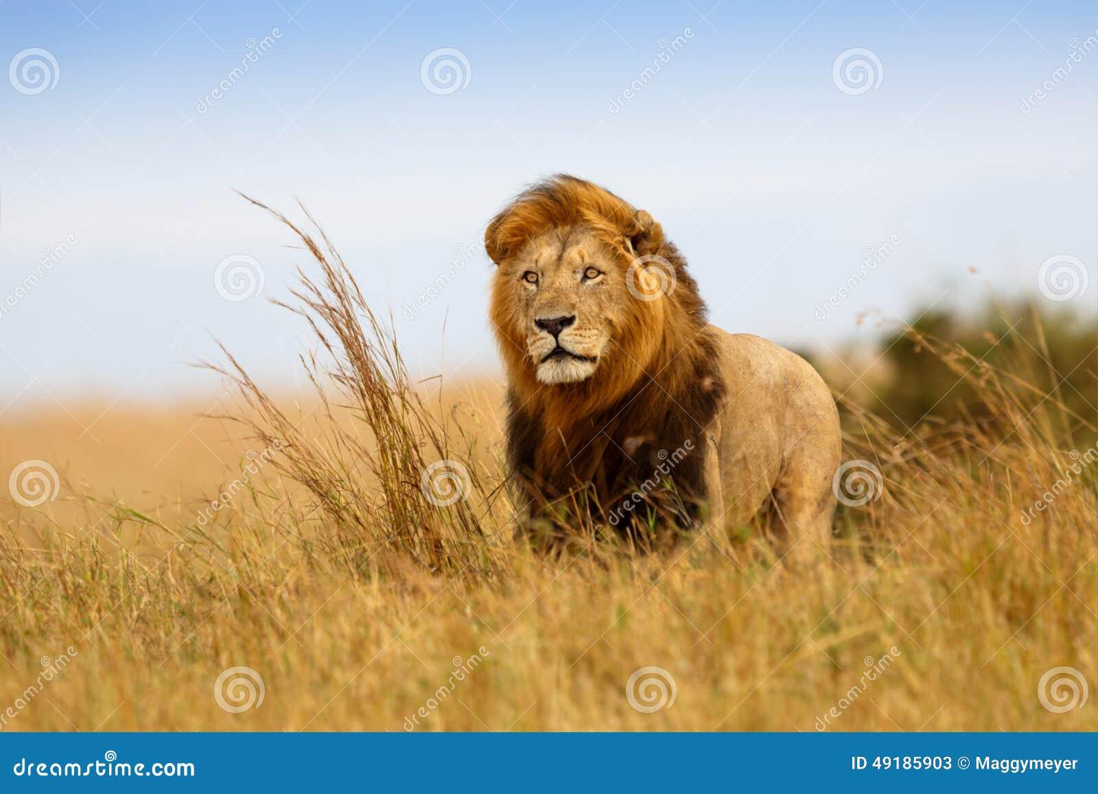 Mooi Lion Caesar