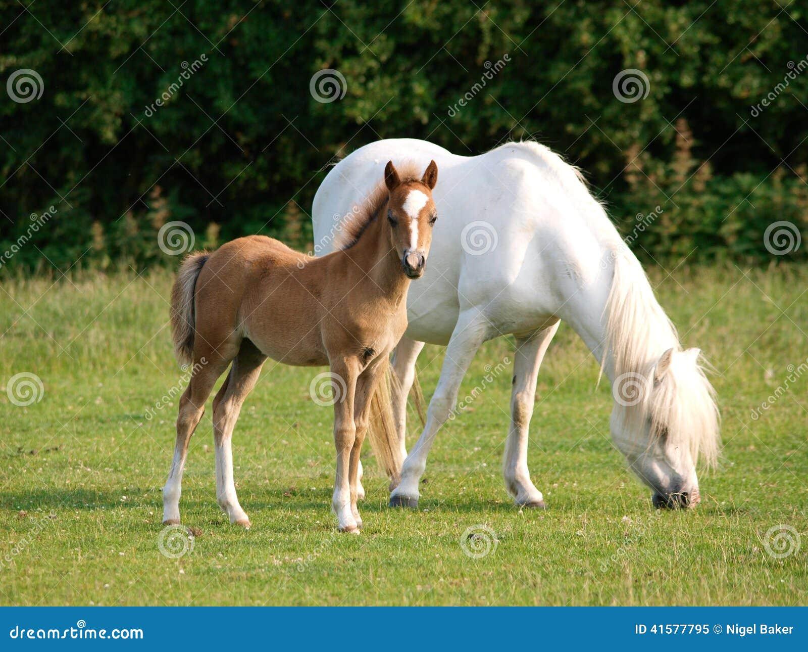 Mooi Merrie en Veulen