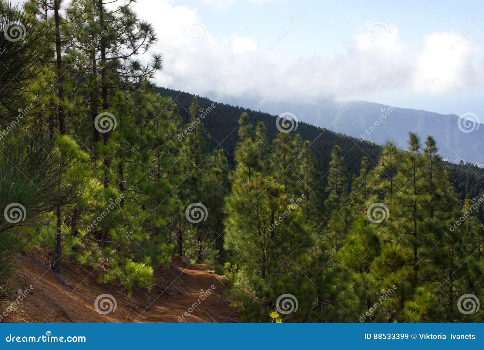 Mooi panorama van pijnboombos met zonnige de zomerdag Naaldbomen Duurzaam ecosysteem Het lopen op vulkaan
