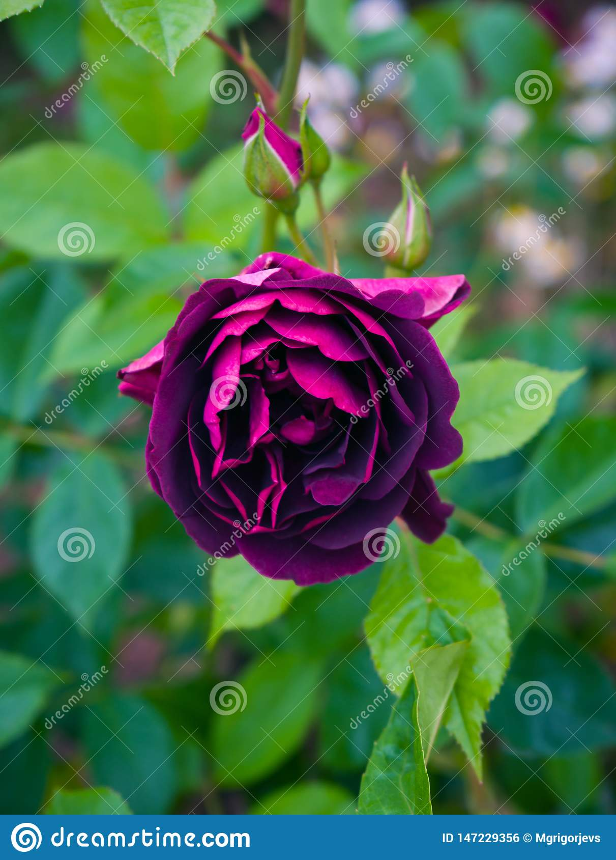 Mooi purper Bourgondië nam in de tuin toe