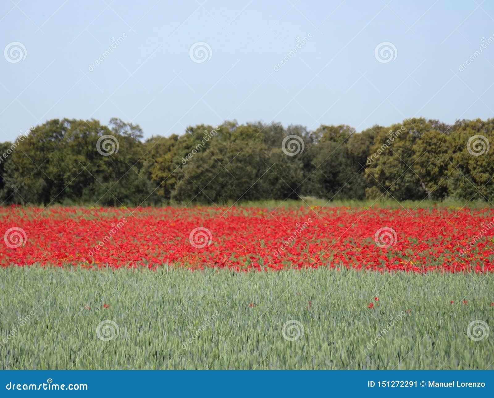 Mooi rood die papavershoogtepunt van bloemen met graangewas worden gemengd