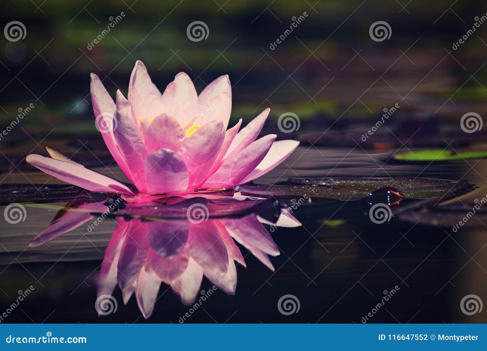 Mooi roze waterlily - lotusbloembloem in vijver Nymphaea, Waterlily