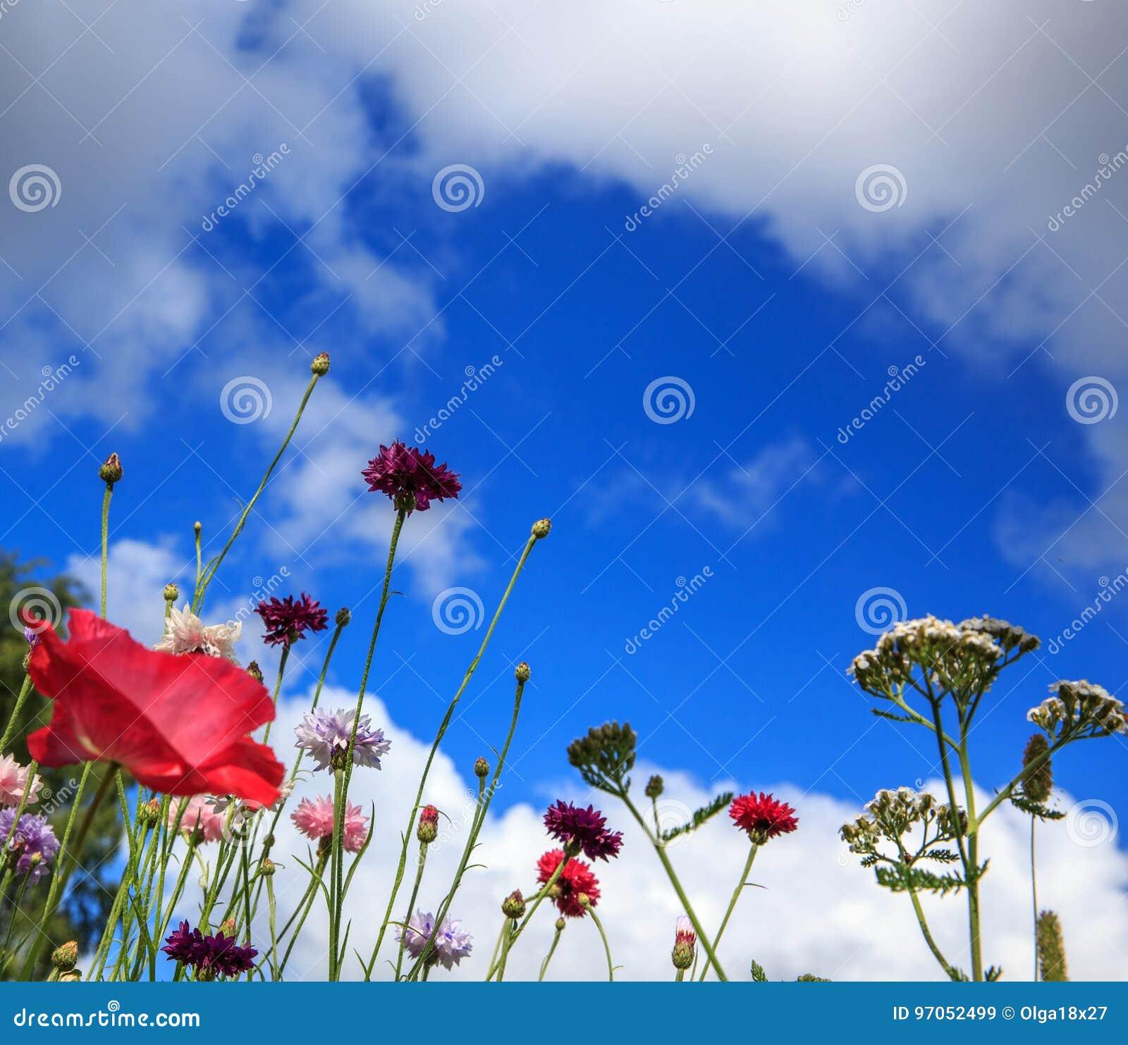 Mooi weidegebied met wilde bloemen De close-up van de lentewildflowers Het concept van de gezondheidszorg Landelijk Gebied altern