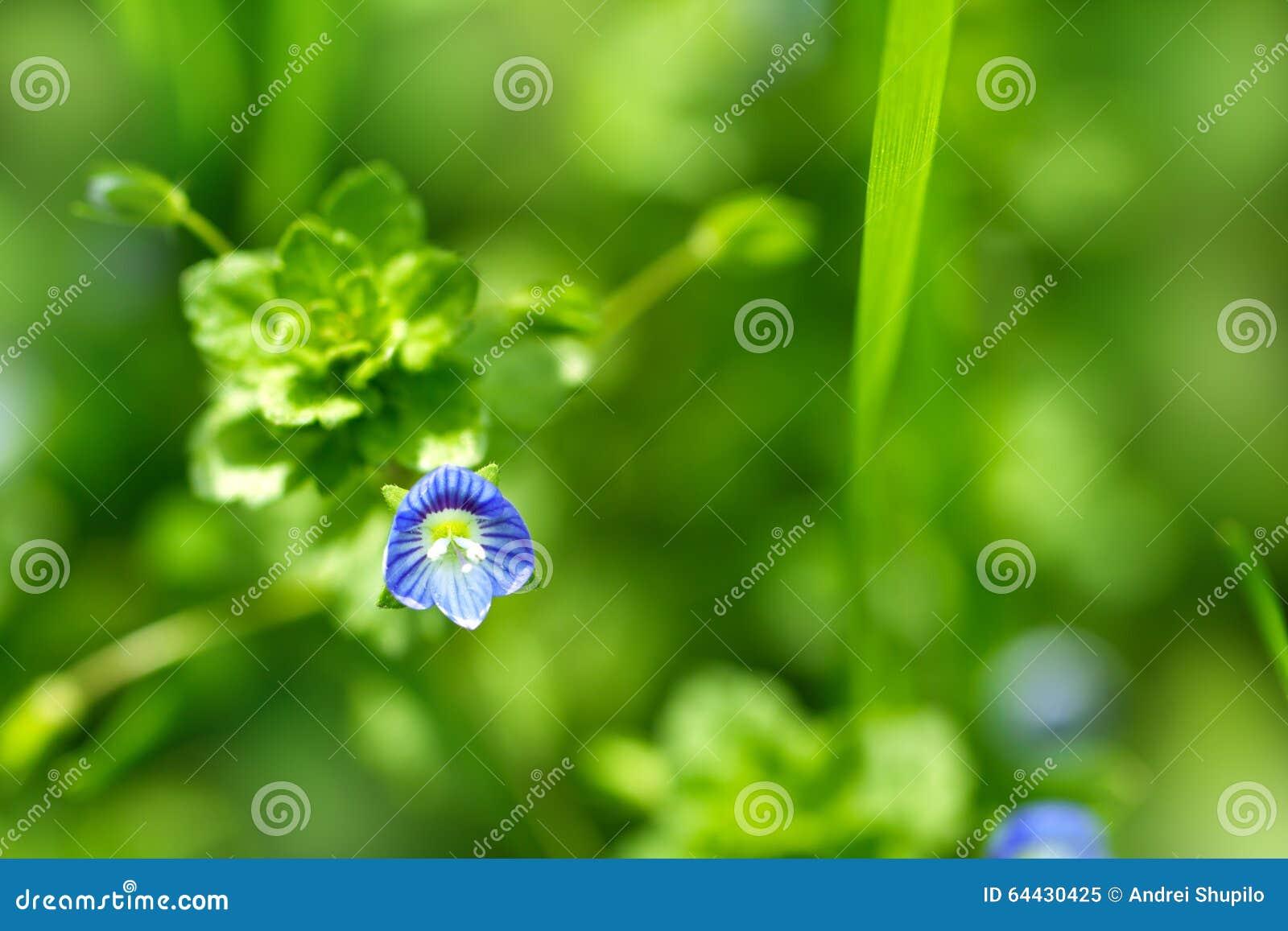 Mooi weinig blauwe bloem