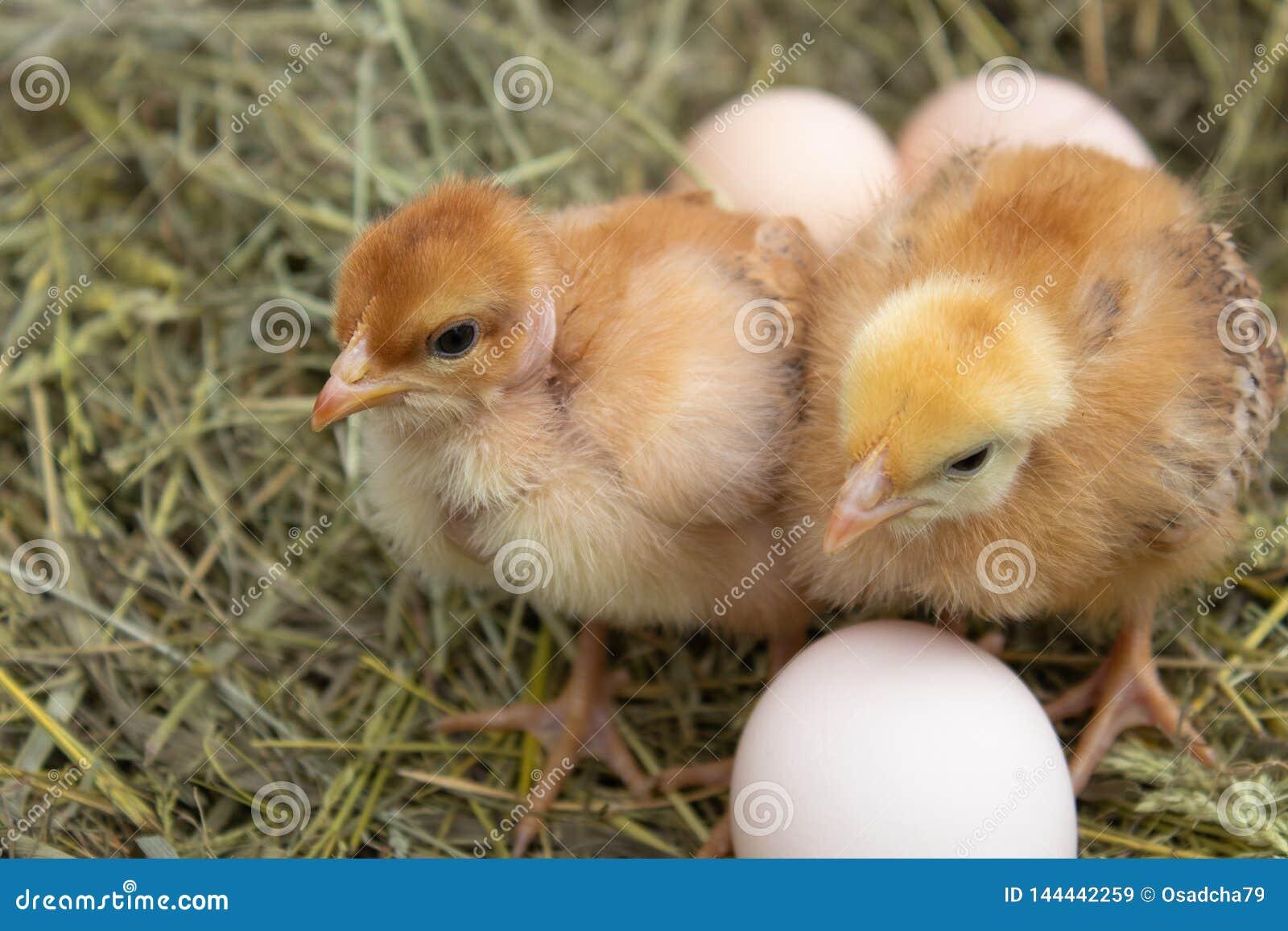 Mooi weinig kip, eieren en eierschaal in nest Pasgeboren kuikens op kippenlandbouwbedrijf