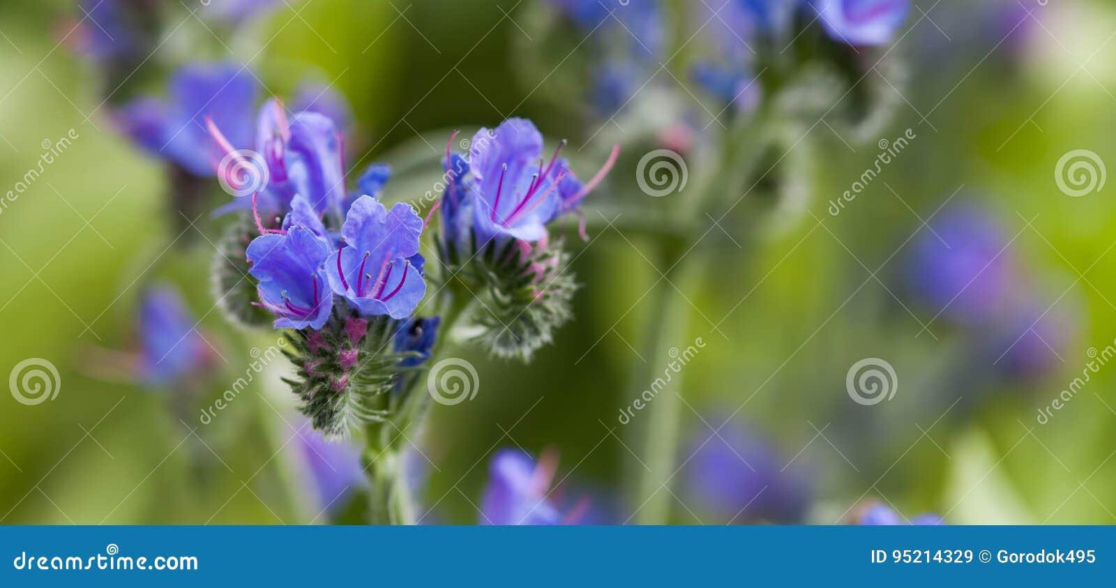 Mooi wild bloemenlandschap De giftige adder ` s van installatieechium vulgare bugloss en blueweed bloeiende installatie in