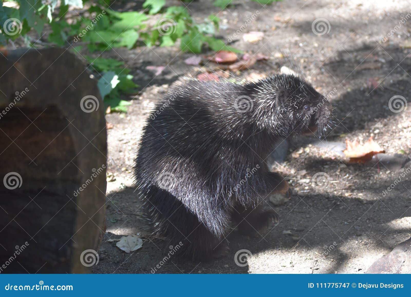Mooi zwart stekelvarken die zich op zijn achterbenen in de schaduw bevinden