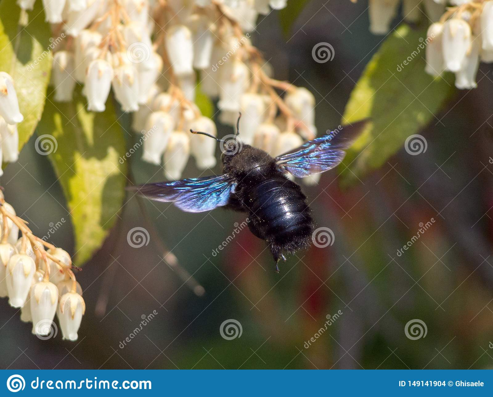 Mooie aardachtergrond, macroinsect, xylocopa