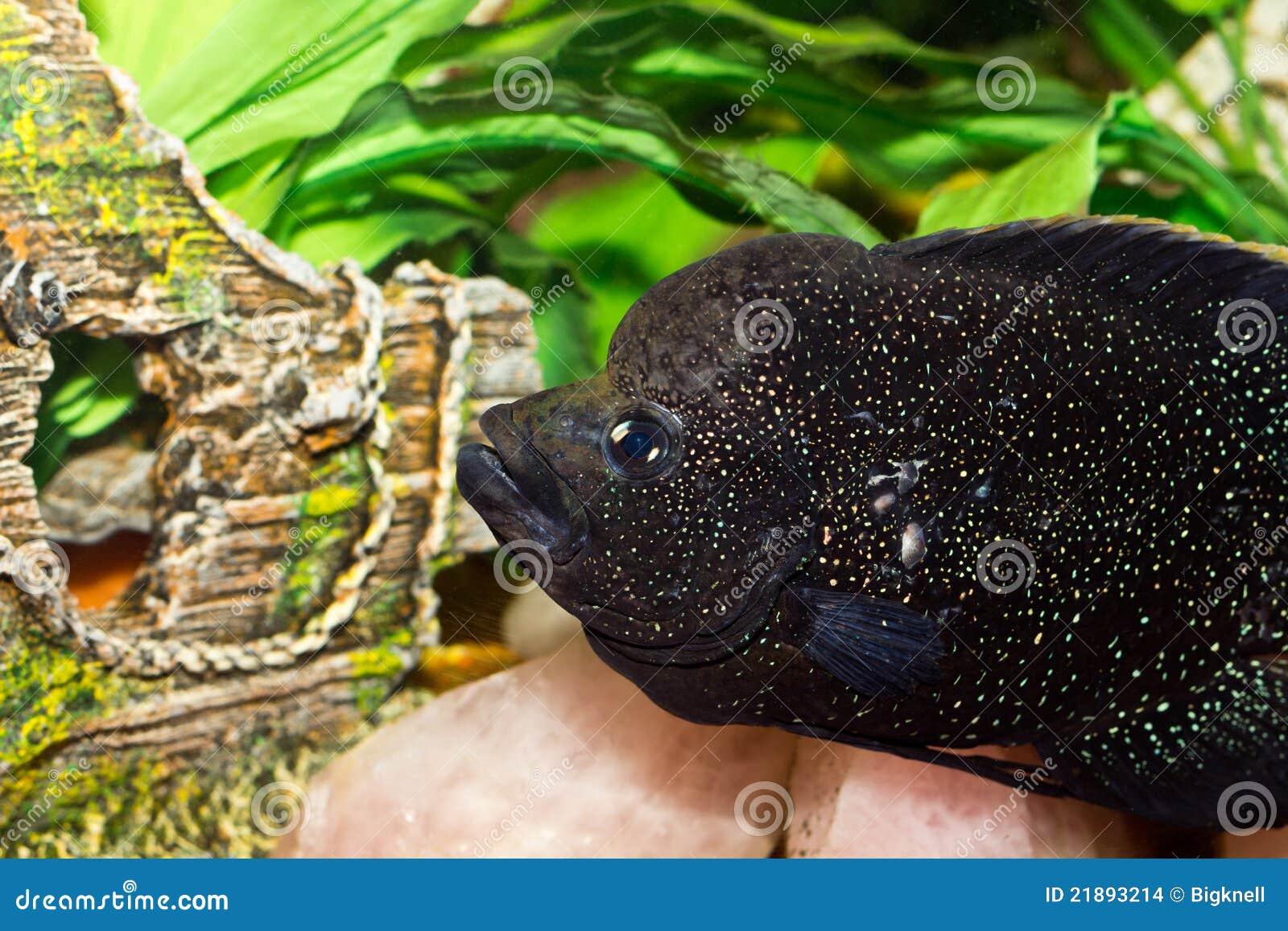 Mooie aquariumvissen stock afbeeldingen afbeelding 21893214 for Gros poisson aquarium
