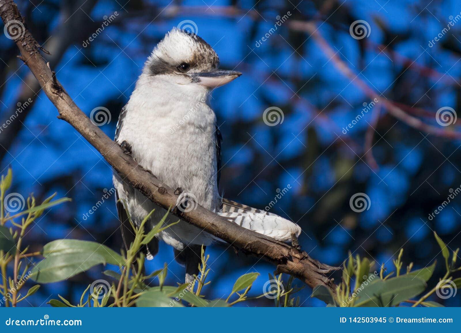 Mooie Australische Witte Vogel - Kookaburra