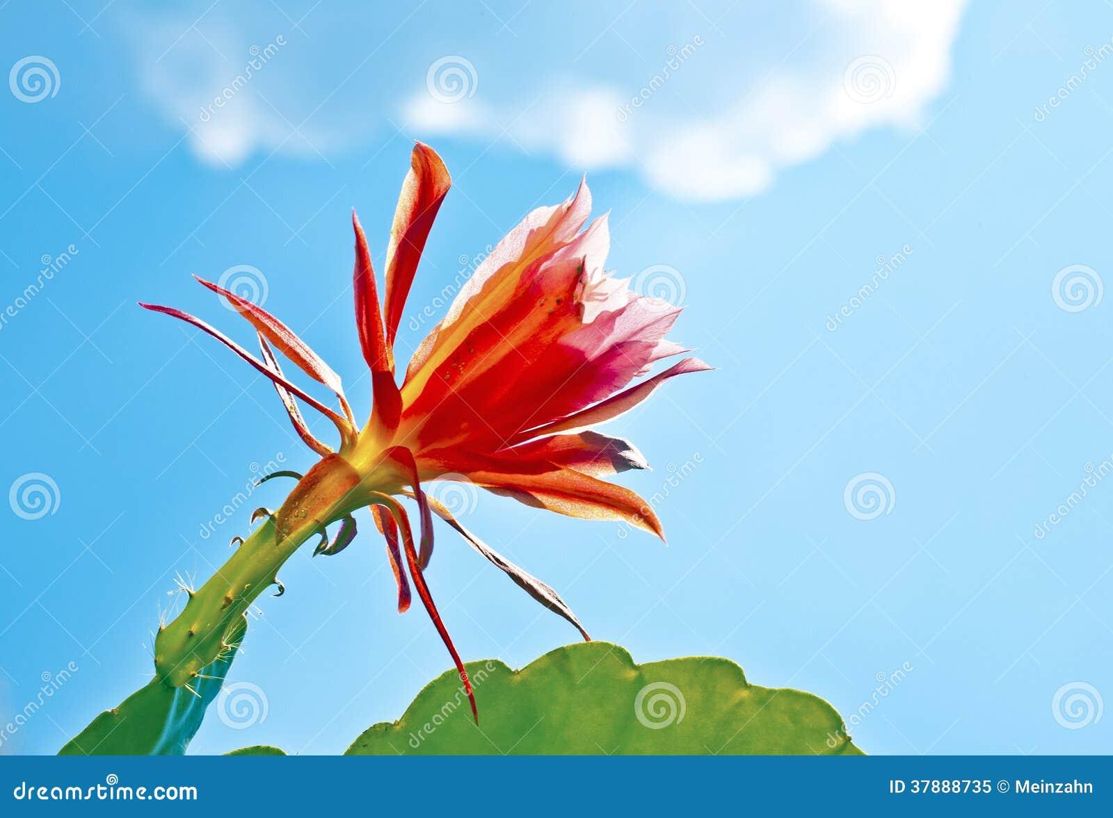 Mooie bloeiende cactus in detail