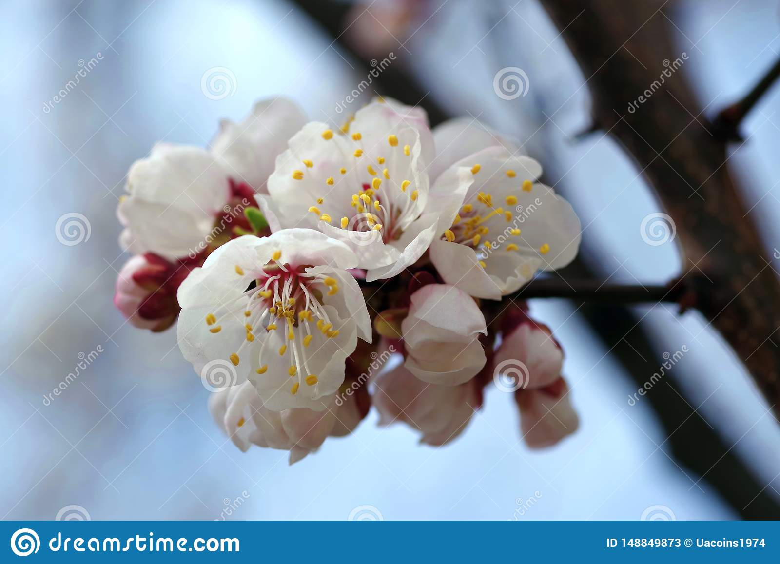 Mooie bloeiende de lenteboom in de Oekraïne