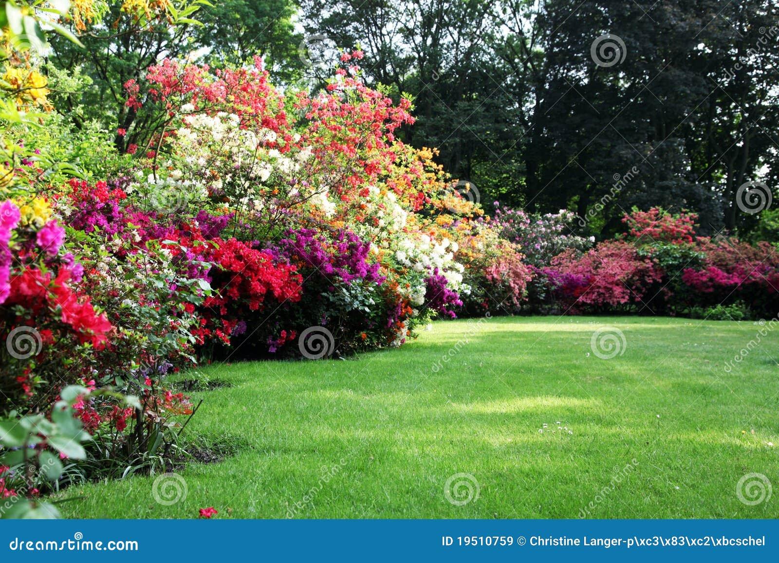 Mooie bloeiende rododendron in de tuin stock afbeelding for Mooie tuinen afbeeldingen