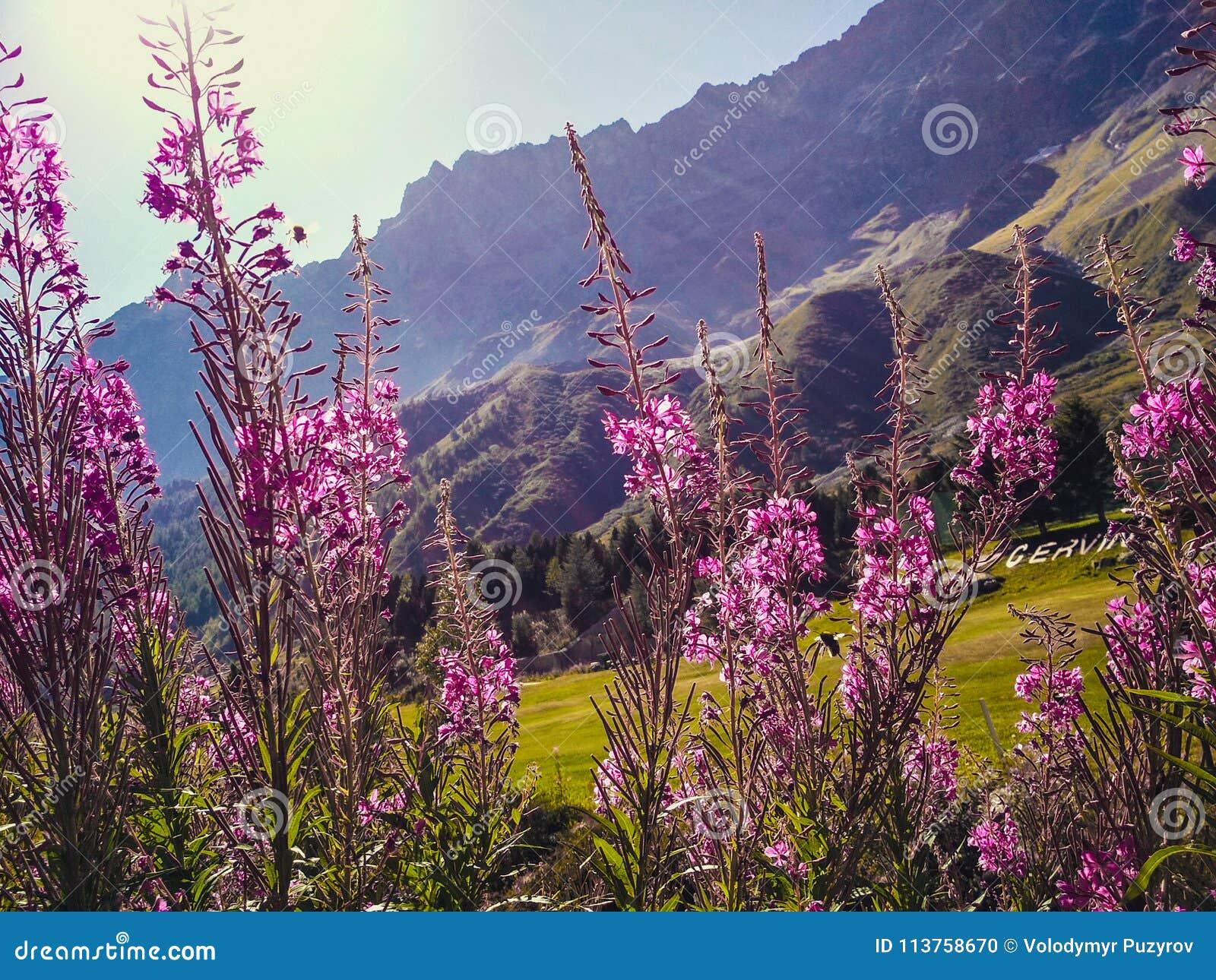 Mooie bloeiwijzen van wilde wilgenthee in alpiene weiden, close-up