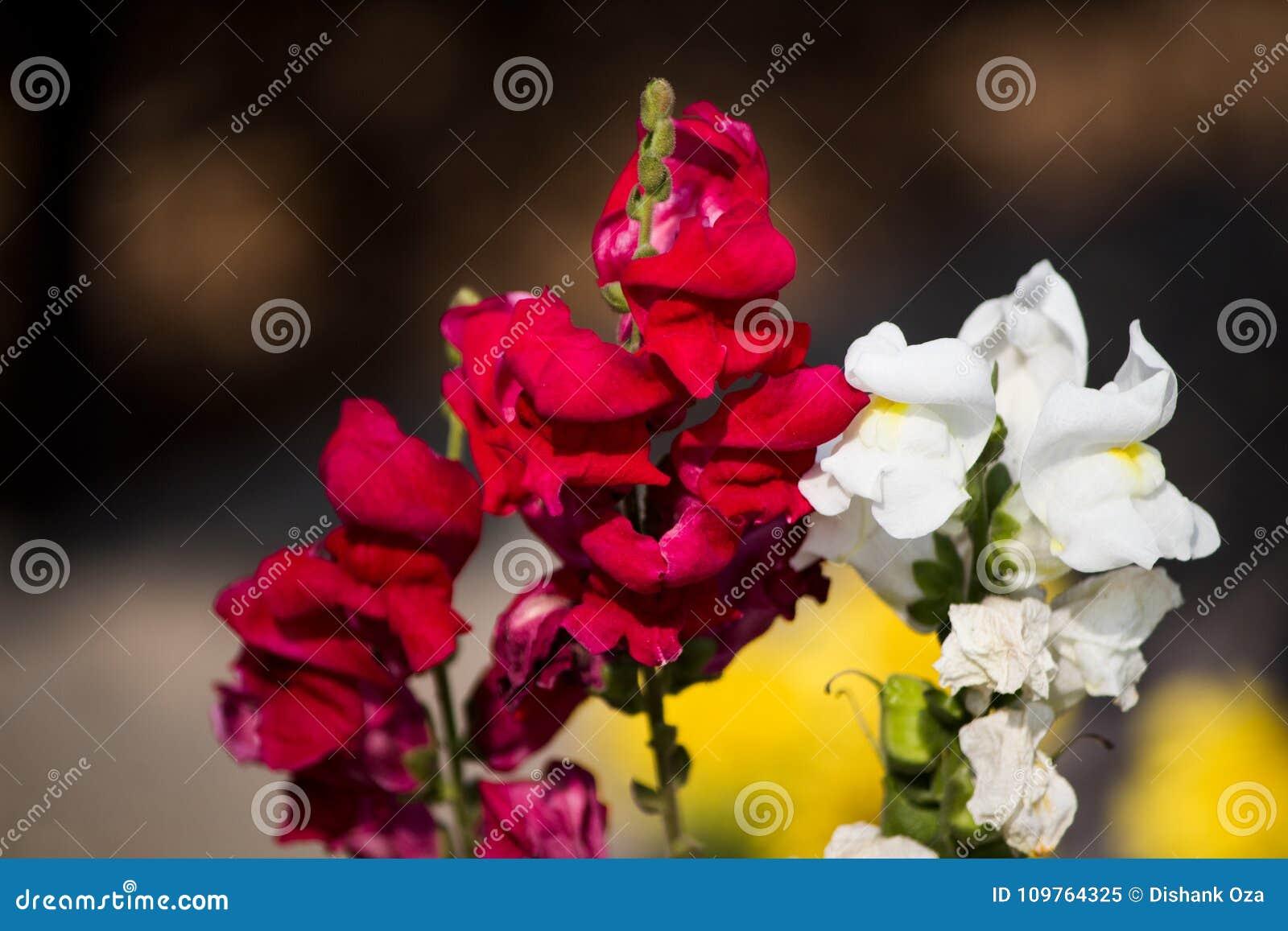 Mooie bloem met mengsel van wit en rood