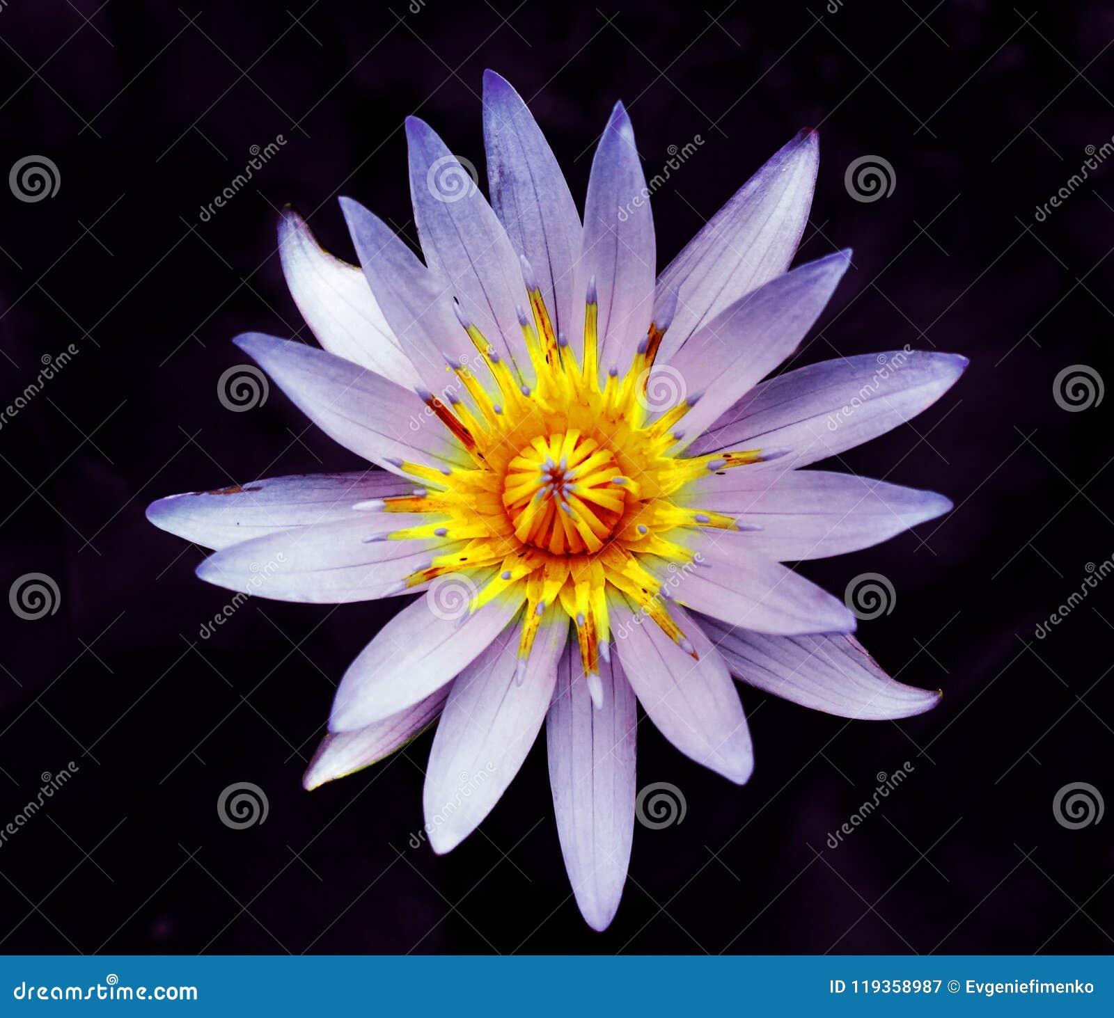 Mooie bloem van waterlelie