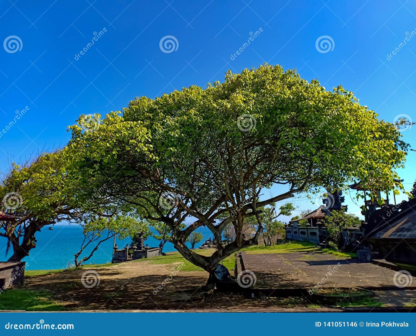 Mooie boom met brede kroon, en oceaan in horizon