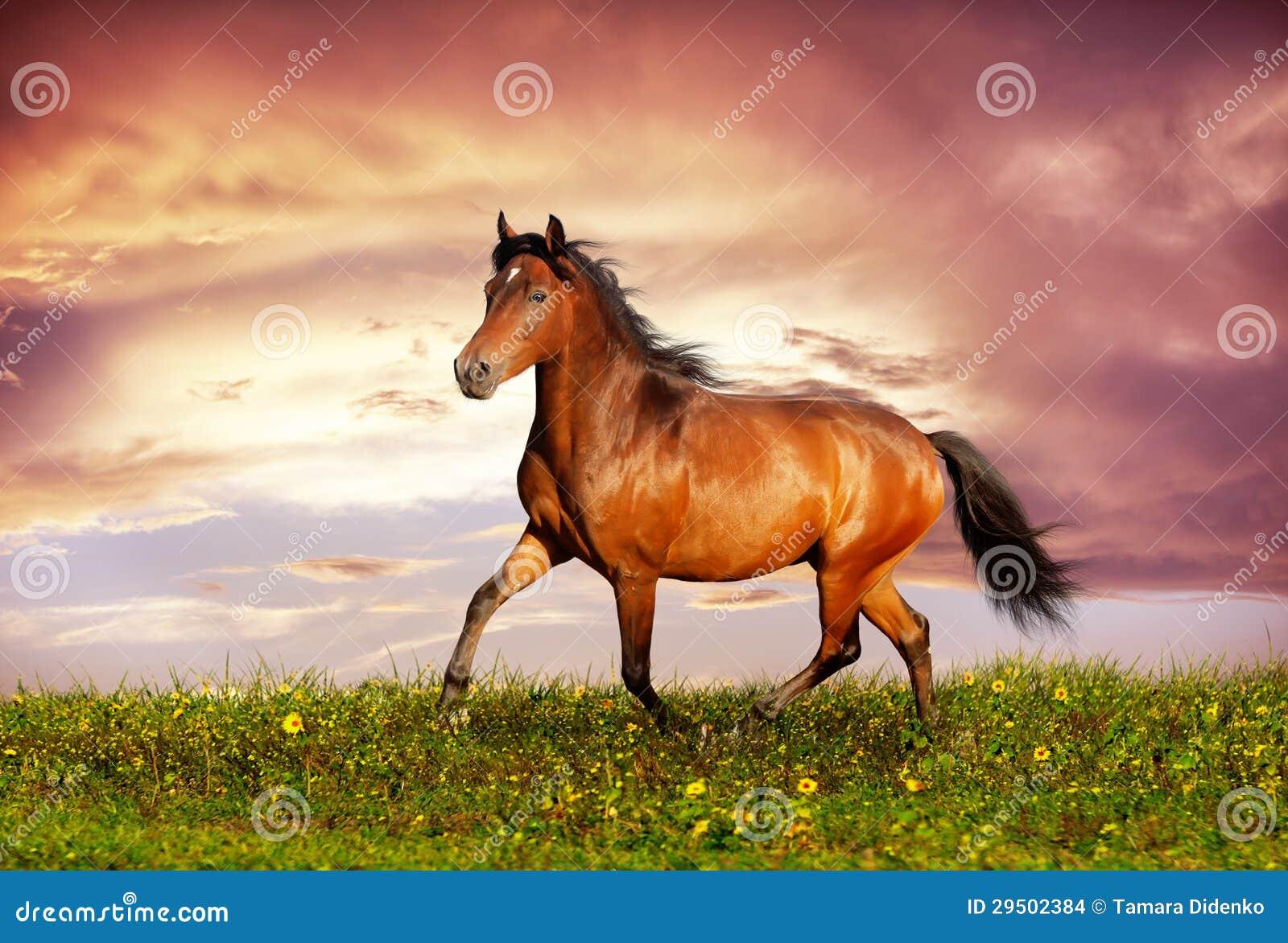 Mooie bruine paard lopende draf